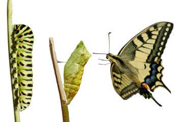 Swallowtail metamorphosis